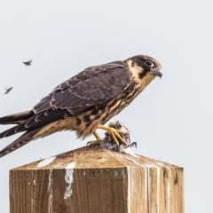 Derde prijs vogels Plukkende boomvalk Roel Hoeve