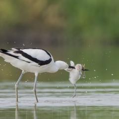 Eerste prijs vogels Opvoeding Aalt van Tongeren