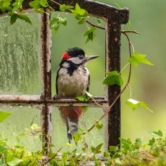 Derde prijs Vogels Jonge specht tikt op raam