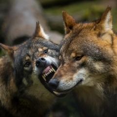 Dominantie Wolf - Eerste prijs - Overige Dieren