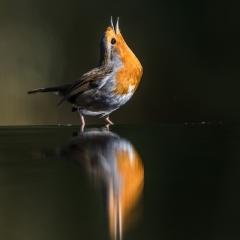Nieuwsgierige Roodborst - Tweede prijs - Vogels