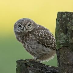 Jonge Steenuil - Derde prijs - Vogels